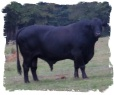 Registered Brangus Bull WHR Geronimo's Transformer 661W